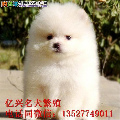 纯种博美犬 广州犬舍直销 多只可选 售后保障