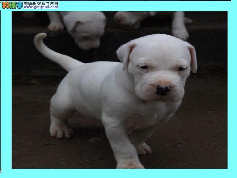 山东杜高犬价格 杜高犬幼犬价格 杜高犬训练方式