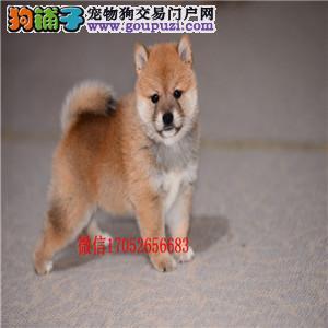 沈阳出售纯种柴犬 沈阳柴犬多少钱 柴犬图片柴犬价格