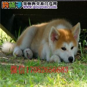 沈阳秋田犬多少钱 纯种秋田出售秋田犬价格秋田犬图片