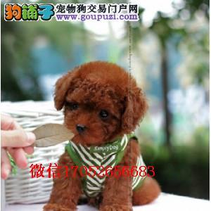 长春哪里卖泰迪犬 长春哪里卖小体泰迪 纯种泰迪多少钱