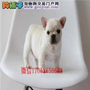 长春哪里有卖法斗 奶油色法斗幼犬出售 长春斗牛犬出售