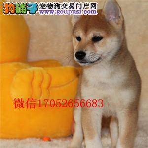 南宁出售纯种柴犬 南宁柴犬多少钱 柴犬图片柴犬价格