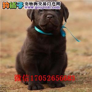 南宁纯种拉不拉多幼犬哪里有 拉布拉多图片 多少钱