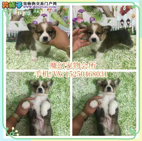 海口 CKU犬舍繁殖出售双色三色柯基犬 带证