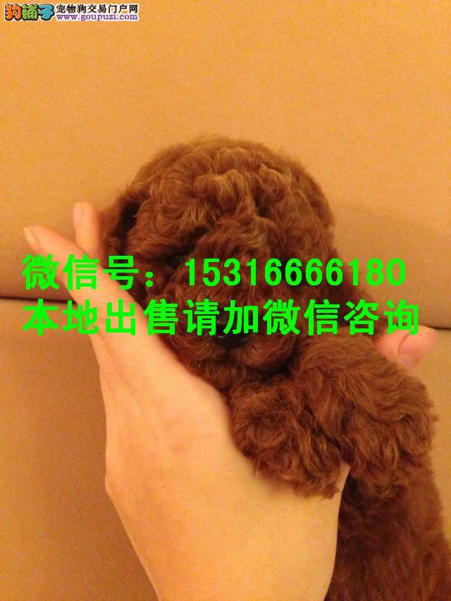 沈阳宠物狗幼犬纯种 白泰迪熊幼犬宠物狗狗出售泰迪