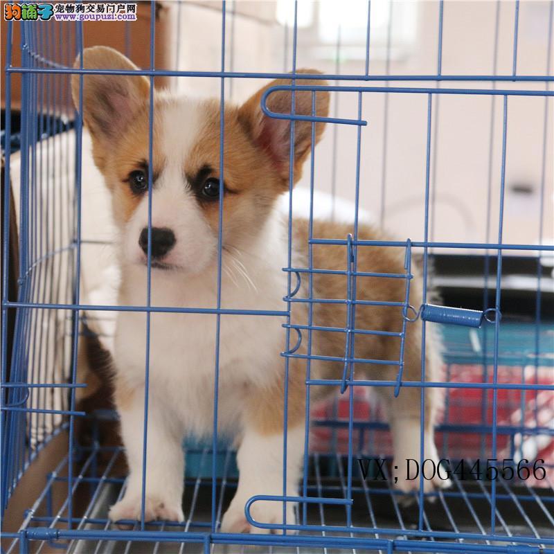 本犬舍出售各类品种狗狗,纯种健康欢迎选购!