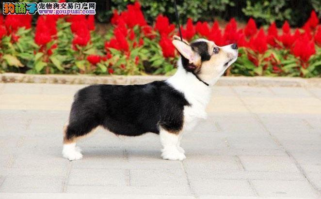 女皇的爱宠英国彭布罗克威尔士柯基犬 质保出售