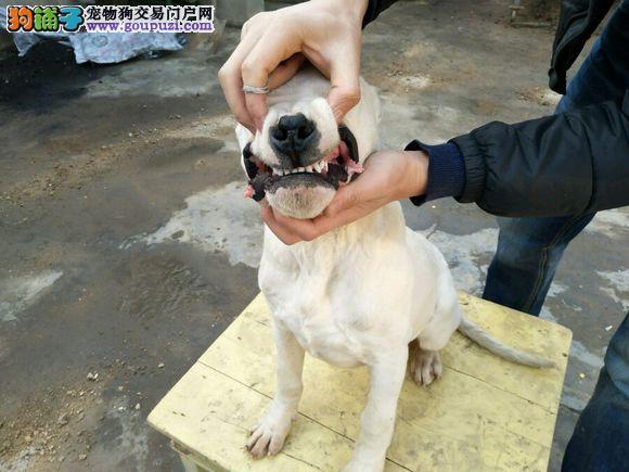 纯种杜高犬出售 品质好 疫苗驱虫已做 健康保质