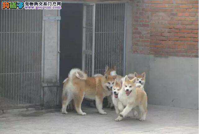 高品质秋田犬带血统出售中上门挑选,保证纯种健康