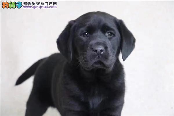 纯种拉布拉多幼犬 可爱 干净 聪明易训好养承诺健康