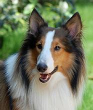 犬舍自主繁殖苏格兰牧羊犬