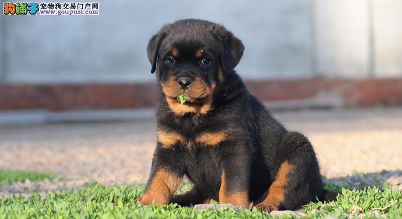 纯正德系罗威纳防暴犬、大头粗腿忠诚强悍幼仔出售
