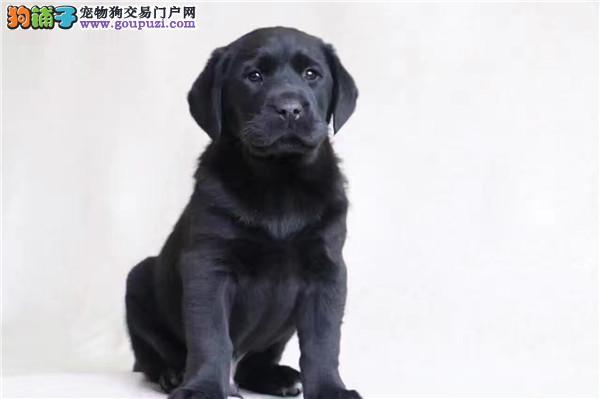 最长情的相伴 拉布拉多您的爱犬 给它一个温暖的家