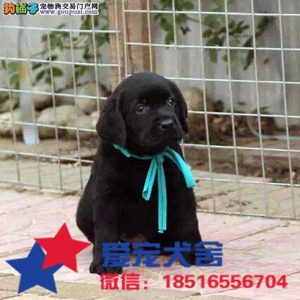 神犬小七同款拉布拉多幼犬 包换、包纯、包健康