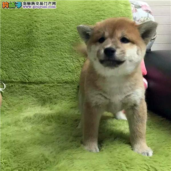 高品质柴犬保纯种健康基地直销欢迎实地挑选