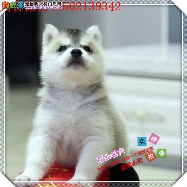 cku认证犬舍十二年繁育精品哈士奇