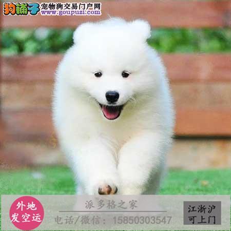 cku认证犬舍出售极品苏牧签协议保健康证件齐全