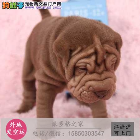 cku认证犬舍出售极品 沙皮签协议保健康证件齐全