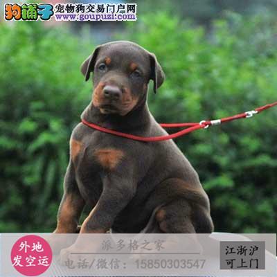 cku认证犬舍出售极品 杜宾签协议保健康