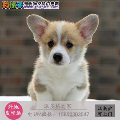 ccku认证犬舍出售极品 签协议保健康证件齐全