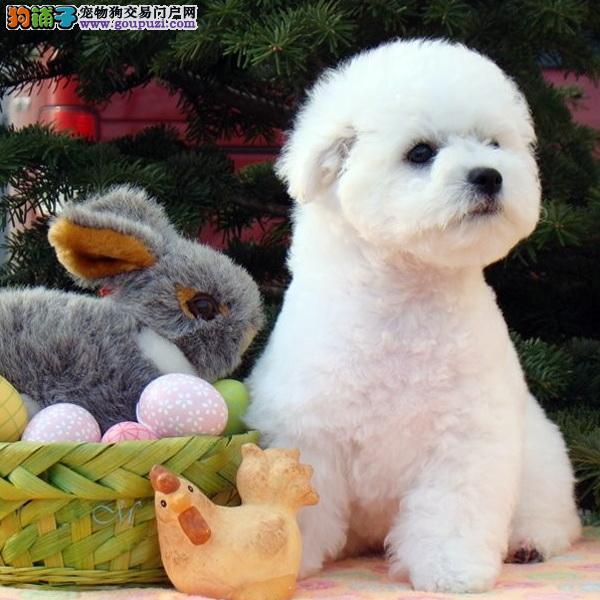 cku认证犬舍十二年繁育精品比熊犬