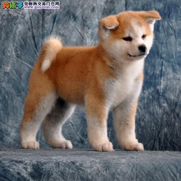 秋田犬 专业繁殖 包品质 欢迎实地挑选