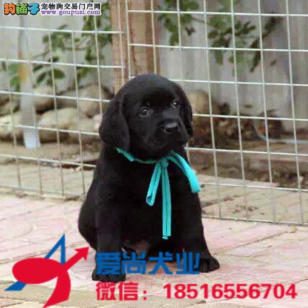 纯种黑色和米黄色拉布拉多犬 包健康纯种签协议
