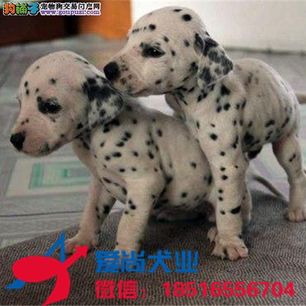犬舍直销纯种健康可爱的斑点狗 血统终身保障