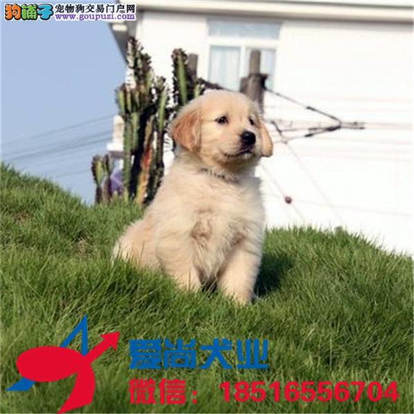 犬舍繁殖、有问题包退换、签协议保健康、极品金毛