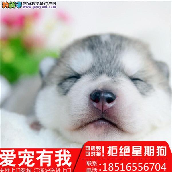 上海直销 精品三把火双蓝眼 疫苗齐全