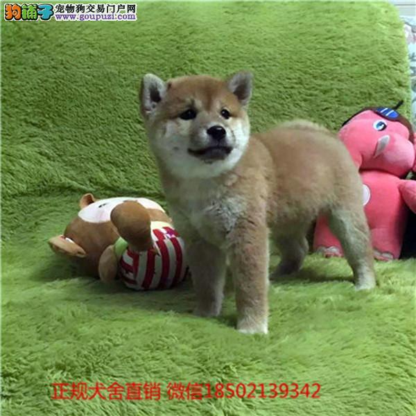 cku认证犬舍出售极品柴犬 签协议保健康证件齐全