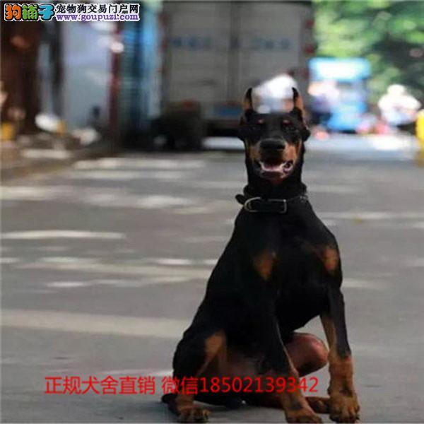 cku认证犬舍出售极品 阿拉斯加签协议保健康证件齐全