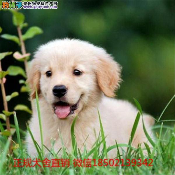 cku认证犬舍出售极品 金毛签协议保健康证件齐全