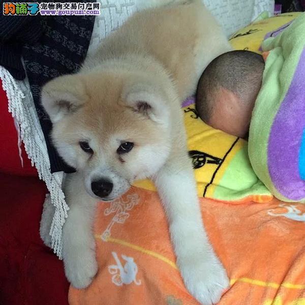 cku认证犬舍出售极品 秋田犬签协议保健康证件齐全