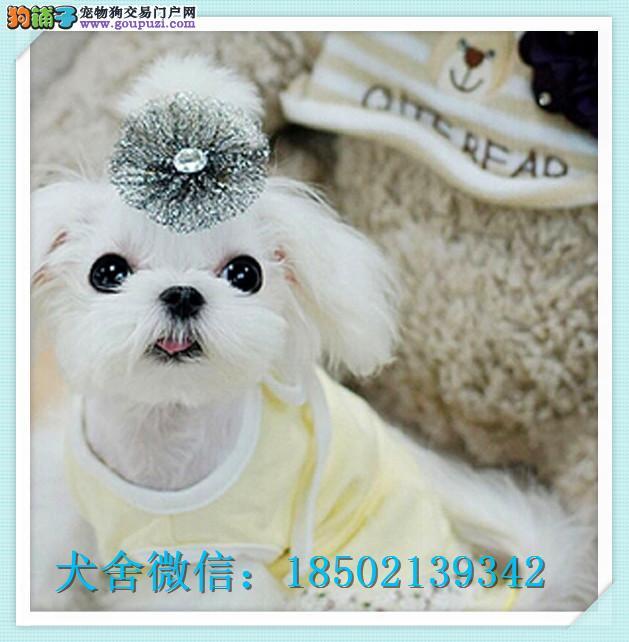 cku认证犬舍出售极品比特 签协议保健康证件齐全