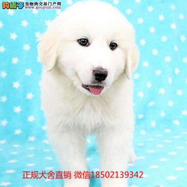 cku认证犬舍出售极品大白熊 签协议保健康证件齐全