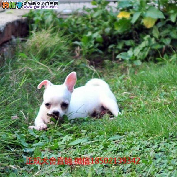 cku认证犬舍出售极品沙皮狗 签协议保健康证件齐全