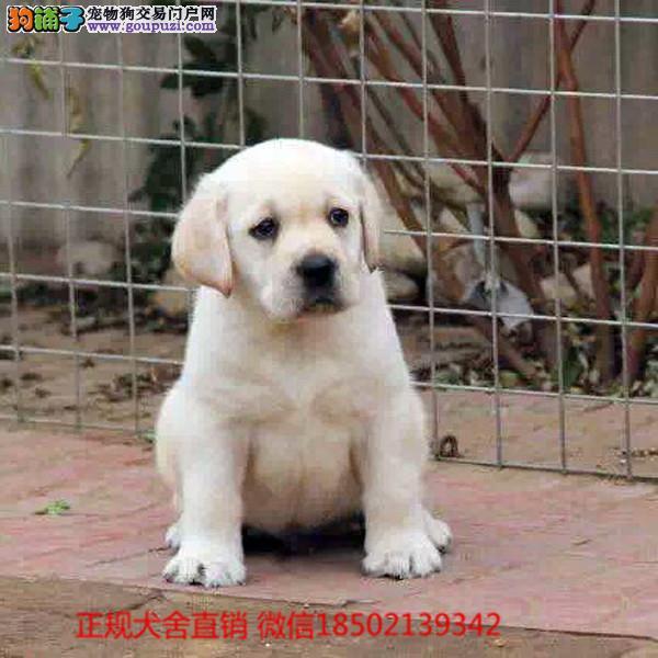 柴犬 cku认证犬舍十二年繁育精品养宠从遇见百业开始