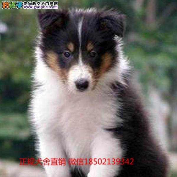 cku认证犬舍出售极品苏牧 签协议保健康证件齐全