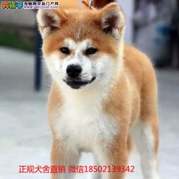 cku认证犬舍出售极品秋田 签协议保健康证件齐全