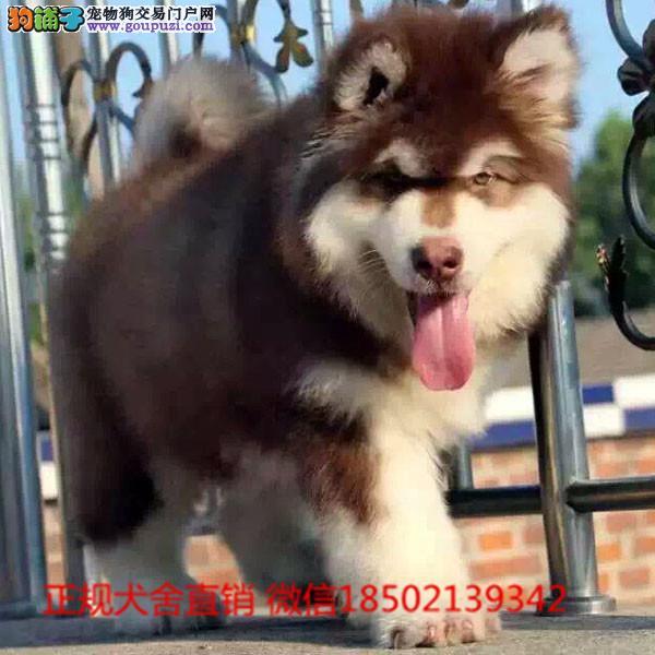 cku认证犬舍出售阿拉斯加 签协议保健康证件齐全