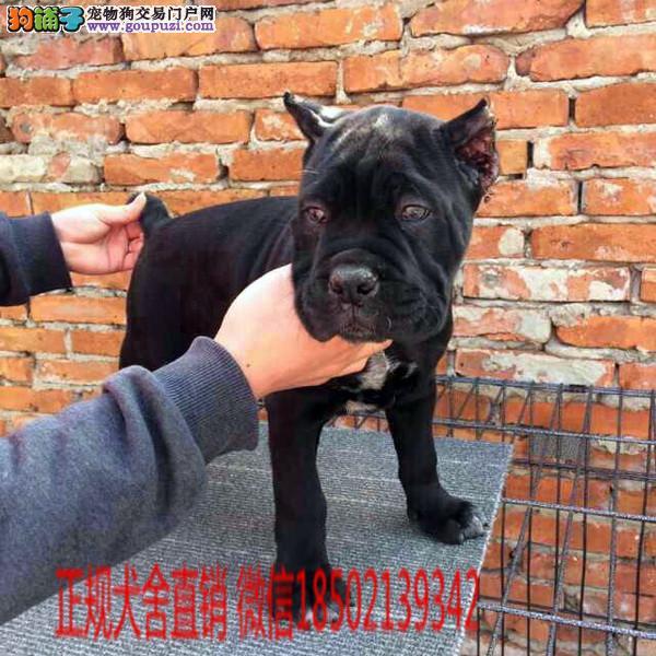 cku认证犬舍出售极品 英国斗牛犬签协议保健康证件齐全