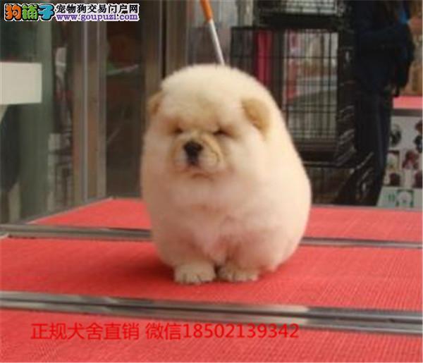 cku认证犬舍出售极品 比格签协议保健康证件齐全