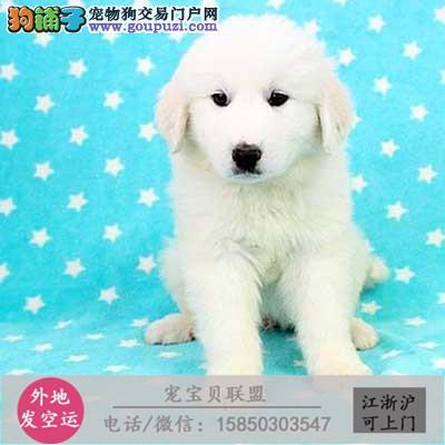CKU犬舍 诚信经营 精品斑点犬赛级品质