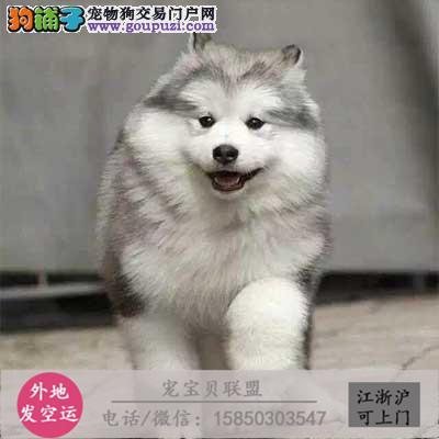 狗舍直售阿拉斯加犬 幼犬 可上门 疫苗驱虫已做