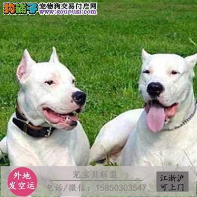 高品质杜高幼犬待售中,保纯保健康,带证书包健康