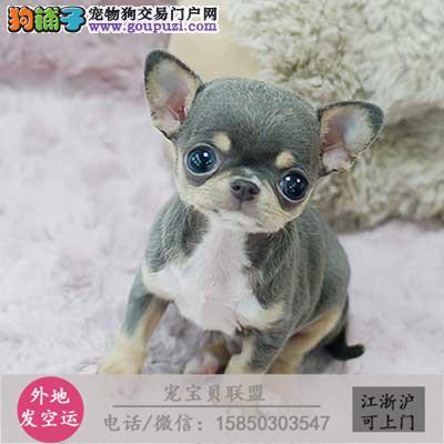 世界上最小的狗狗吉娃娃 可爱活泼颜色齐全