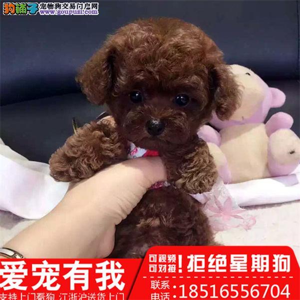 直销各色玩具泰迪熊贵宾 茶杯泰迪犬幼犬