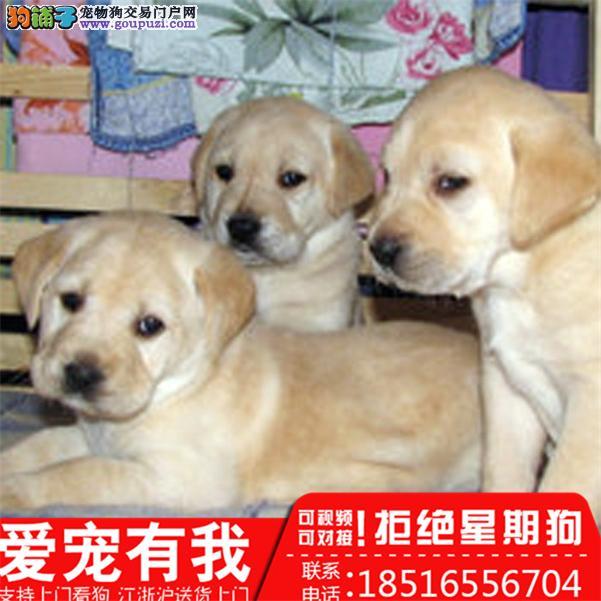 出售纯种幼犬拉布拉多 多只挑选 健康品质有保障